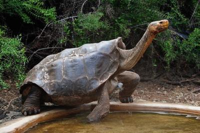 Diego, la tortuga súper macho que salvó a su especie