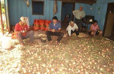 Destacan buen rendimiento en la cosecha de cebollas