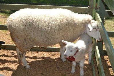 Lanzan la primera fiesta de la oveja en Misiones