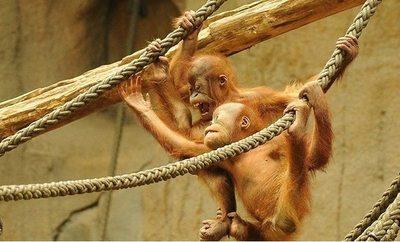 Un 'baby shower' para una orangutana