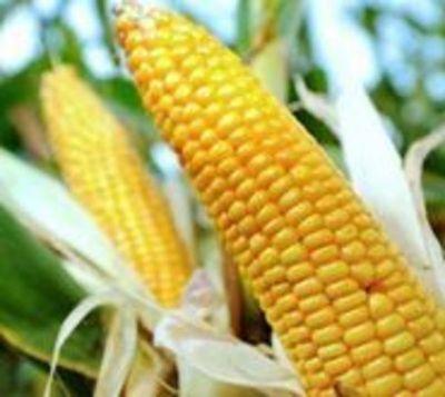 Monsanto anuncia otros mil despidos en todo el mundo