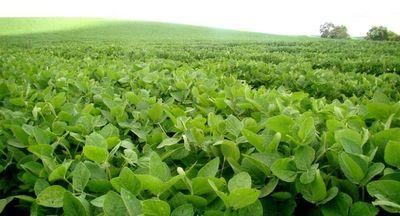 Existen condiciones favorables para diseminación de la roya, plaga que ataca a la soja