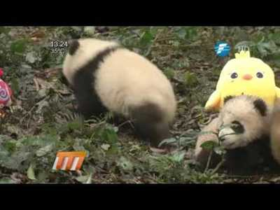 China: pandas cachorros posan para felicitaciones del Año Nuevo Lunar