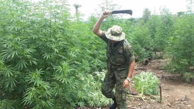 Amambay: Eliminan 6 hectáreas de marihuana