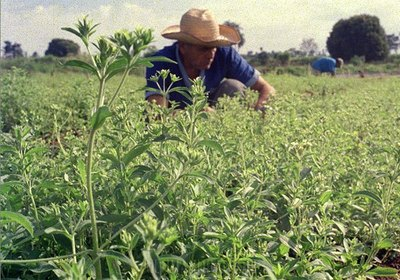 Extranjeros buscan cultivar 3.000 hectáreas de stevia en Paraguay
