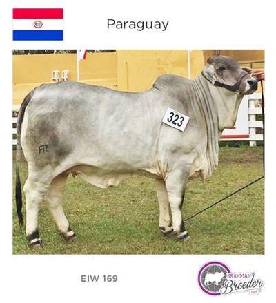 Paraguay destronó a Argentina y Uruguay en genética Brahman