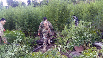 Anulan 220 toneladas de marihuana