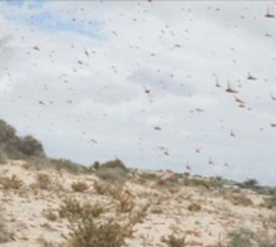 Comenzarán ataque contra langostas en el Chaco