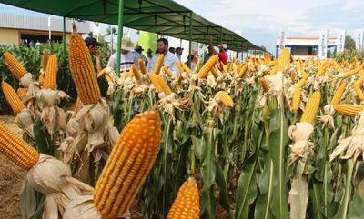 Aumentan 14% los rindes de maíz con uso de cal y yeso