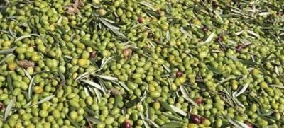 Firmarán acuerdo con Italia para cultivo de olivo