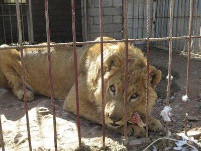 Los supervivientes del zoo de Mosul vuelven a rugir