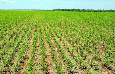 """Cultivos """"zafriñas"""" de maíz y soja también tienen buenas perspectivas"""