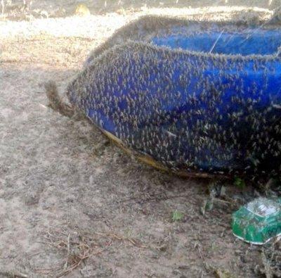 Langostas se multiplican y ya atacan pasturas en el Chaco