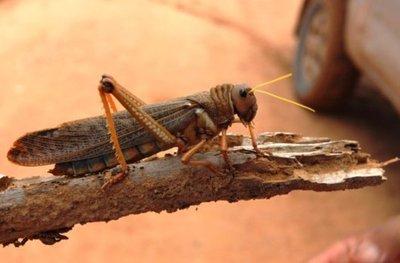Una langosta puede procrear más de 1 millón de insectos