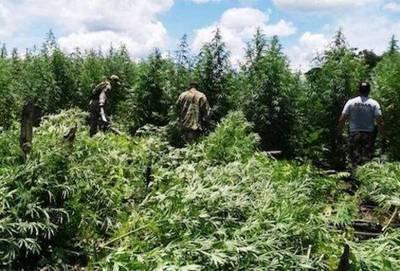 Destruyen plantaciones de marihuana valoradas en casi US$ 24 millones