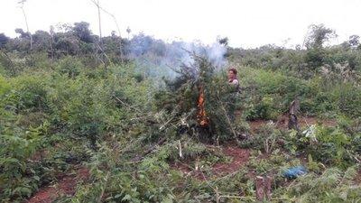 Destruyen 8 hectáreas de marihuana en Ypejhú