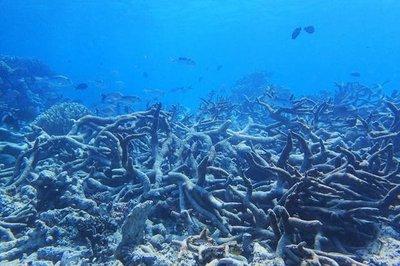 Blanqueo de corales dañan 1.500 kilómetros