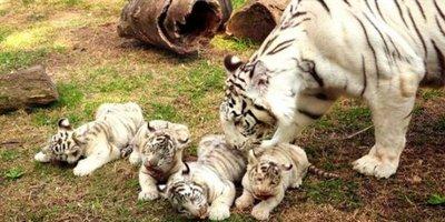 Un zoológico presenta cuatrillizos de tigres blancos