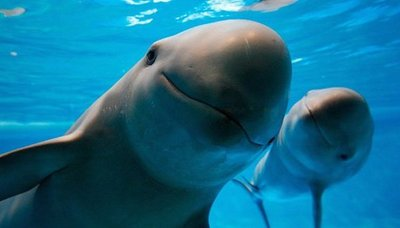 México creará santuario para salvar a la vaquita marina