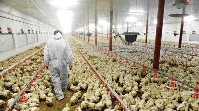Industria avícola suma millonaria inversión