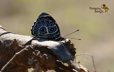La mariposa ochenta