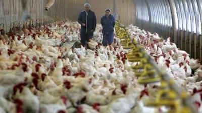Producción nacional avícola coquetea con los grandes mercados