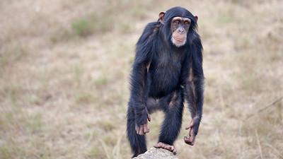 Los chimpancés son más fuertes que los seres humanos
