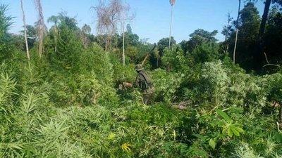 Marihuana: En 2016 echaron más bosques para cultivo