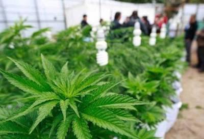 Proyecto para investigar uso medicinal de la marihuana ya tiene media sanción