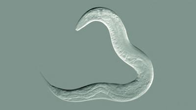Revelan cómo un gusano asexuado logró sobrevivir 18 millones de años