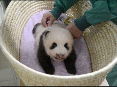 Eligen nombre para nuevo panda gigante en Japón