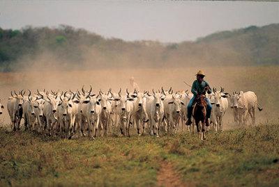 Industria se encuentra limitada por la baja oferta de ganado para faena