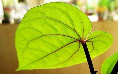 Las plantas reaccionan a la anestesia como los humanos