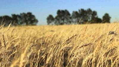 Controlarán calidad de trigo y arroz para evitar residuos de plaguicidas