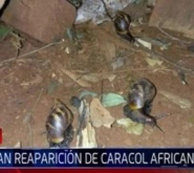 Reaparecen los caracoles africanos en Ciudad del Este