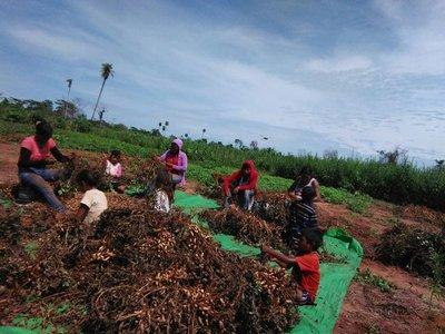 Potencian producción de maní en comunidades indígenas