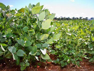 Cosecha de soja se retrasa, pero no fue aún afectada por lluvias