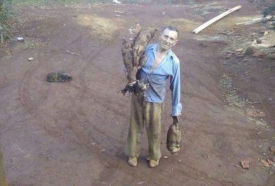 Feroz mandi'o rapo se cosecha en Itapúa