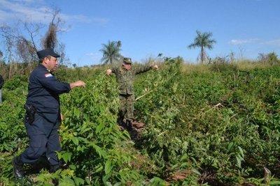 Destruyen hectáreas de marihuana en Capiibary