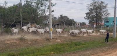 Concepción: Fiscala interviene por animales sueltos en ruta