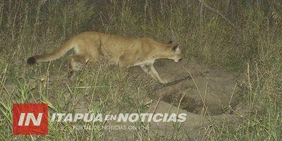 San Cosme: ''El tipo de caza y huellas corresponden a pumas''