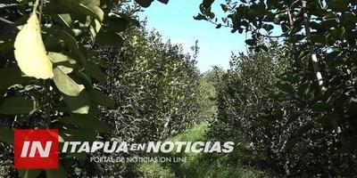 BUSCAN AMPLIAR LA PRODUCCIÓN DE YERBA MATE EN ZONAS DE CULTIVO DE GRANOS.