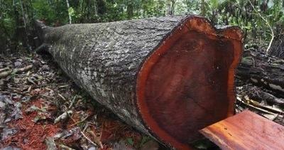 Acusan a un cacique y dos brasileños por tala de árboles