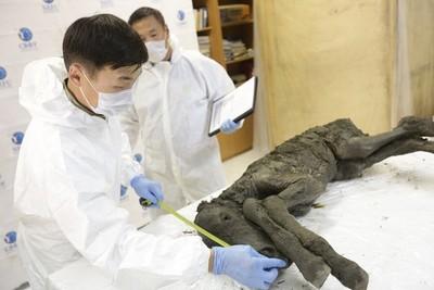 Buscan clonar extinto potro prehistórico