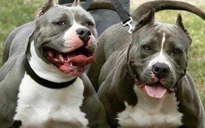 Dos pitbulls paran un allanamiento