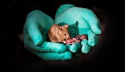 Científicos chinos producen crías de ratón con parejas del mismo sexo