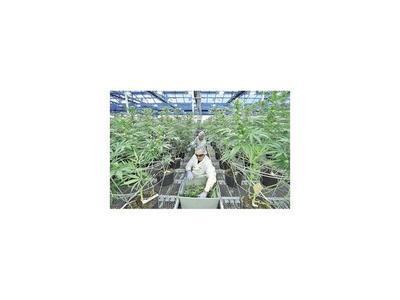 Legalizar la marihuana es aún  una rareza en el mundo