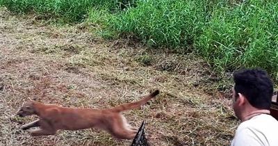 Puma fue liberado en una reserva boscosa de Itaipú