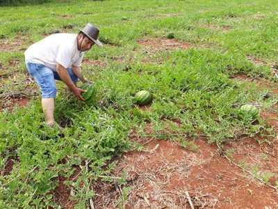 Productores de comunidad El Triunfo destacan buena producción de sandia
