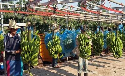 HOY / Aprueban incluir banana nacional en merienda escolar